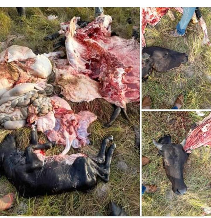 El abigeato en Arauca está desbordado denunciaron ganaderos.