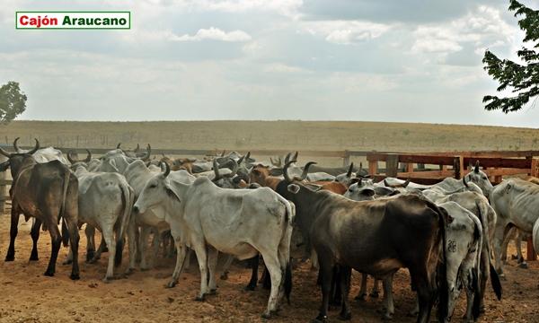 Hoy los ganaderos de Arauca están de fiesta gracias a esta noticia.